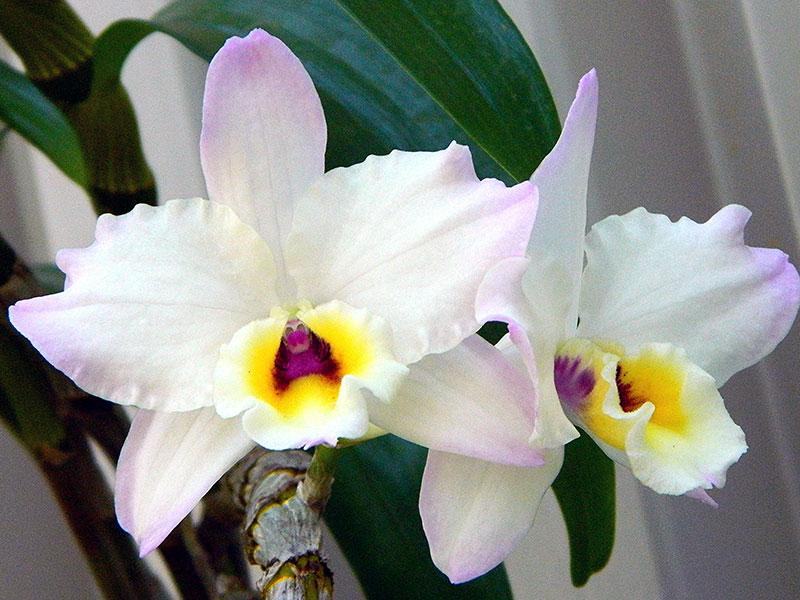 Выращивание орхидеи в домашних условиях – секреты успеха