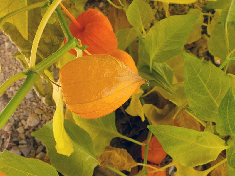 Как сажать физалис семенами 65