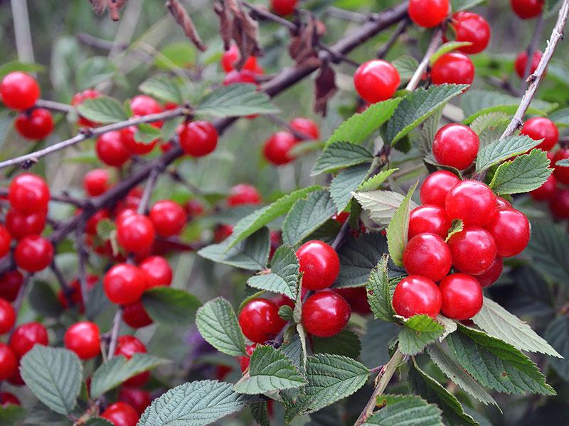 Посадка и выращивание вишни войлочной 86