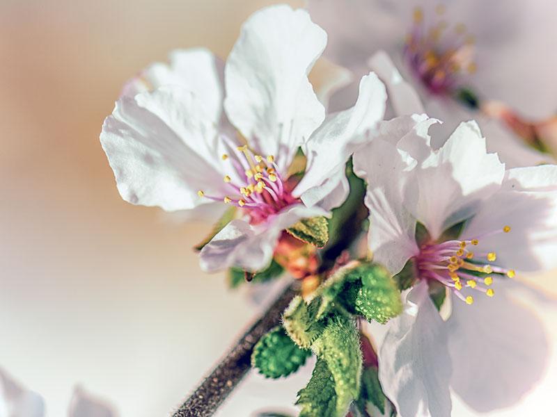 Как выращивать войлочную вишню в саду