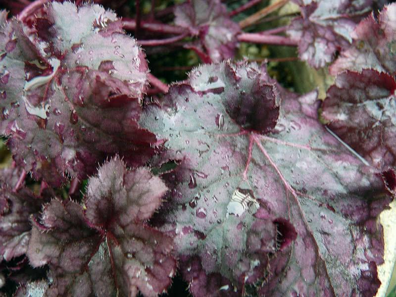 Условия выращивания гейхеры в саду