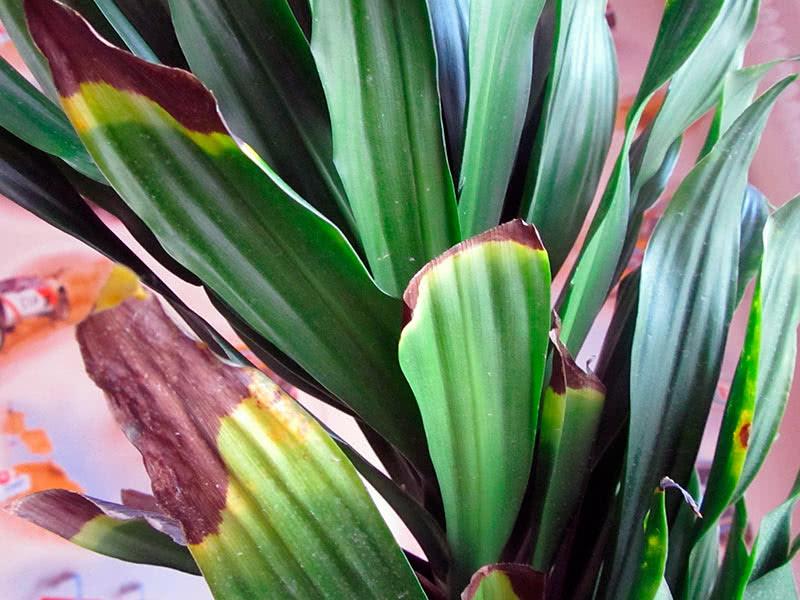 Драцена желтеет и сохнут кончики листьев
