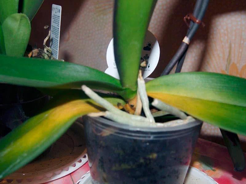 Желтеют листья у орхидеи – причины их устранение