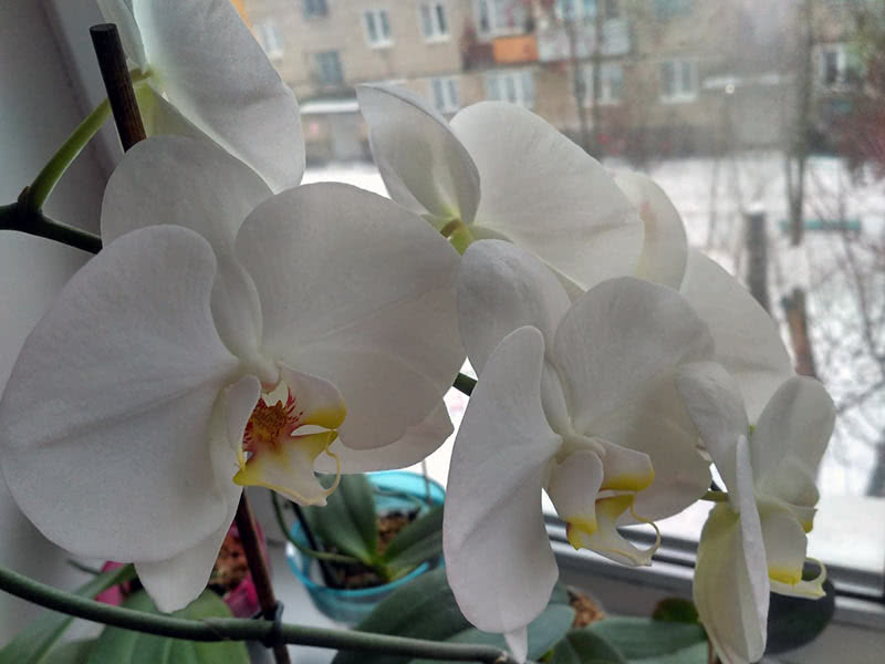 Белый фаленопсис