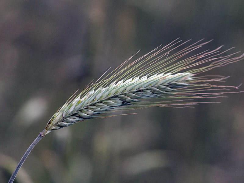 Сидерат рожь (лат. Secale cereale)