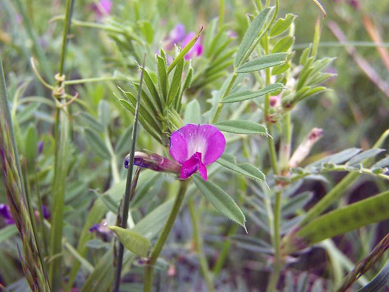 Сидерат вика посевная (лат. Vicia sativa)