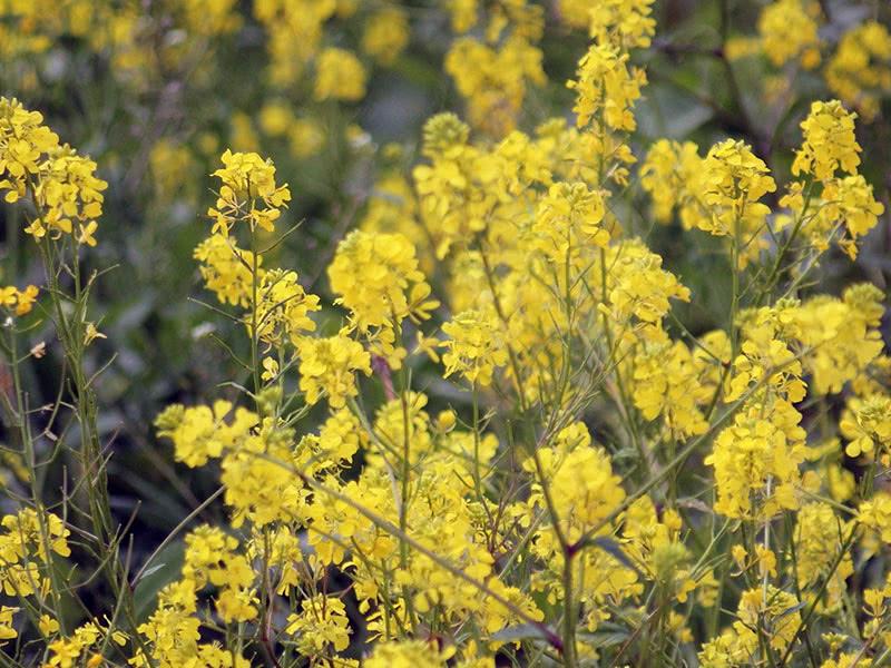 Сидерат рапс (лат. Brassica napus)