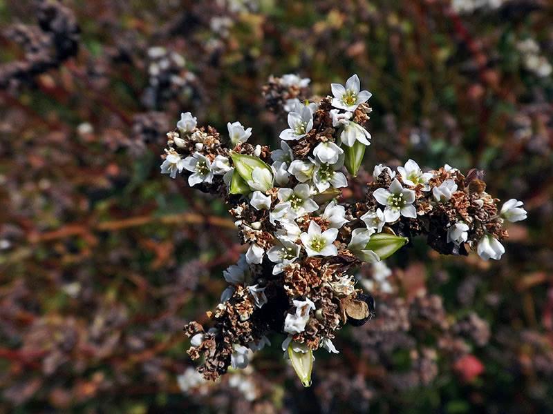 Сидерат гречиха (лат. Fagopirum esculentum)