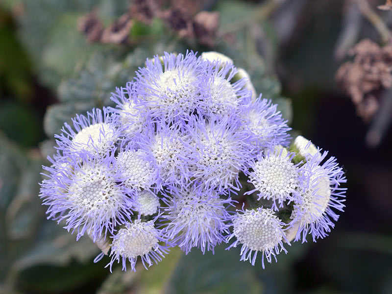 Выращивание агератума из семян: когда сажать и как ухаживать?
