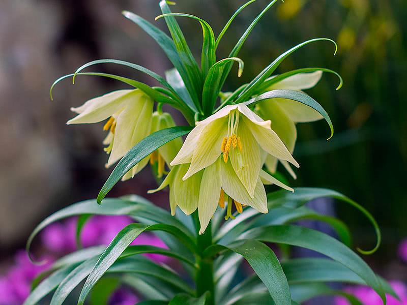 рябчики цветы сорта фото заготовки