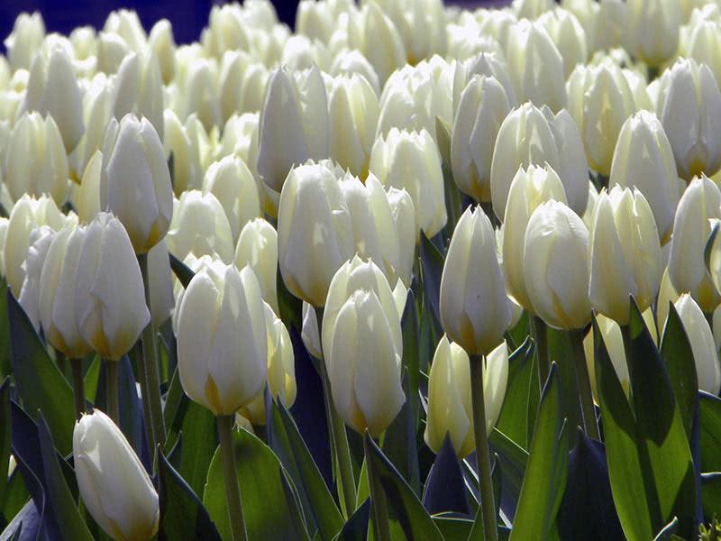 Как и когда пересаживать тюльпаны